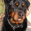 Troy: Father of Nine (Rottweiler) by taiche