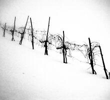 frozen vineyard on a frosty winter day by nitakphoto