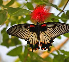 Female Great Mormon Butterfly  by Robert Abraham