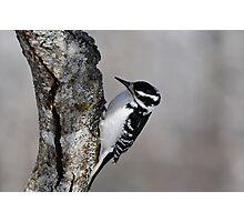 Hairy Woodpecker (female) Photographic Print