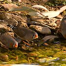 Zebra Finches Drinking by bettyb