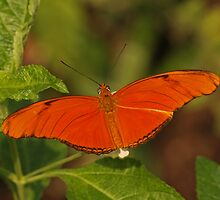 Costa Rican Julia by Robert Abraham