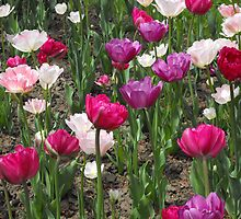 Tulips! by Tracy Faught
