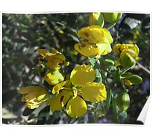 Caesalpinia Mexicana or Cassia 3 Poster