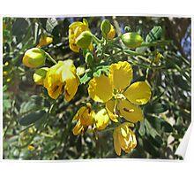 Caesalpinia Mexicana or Cassia 4 Poster