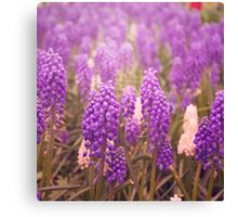 Skagit Valley Muscari Canvas Print