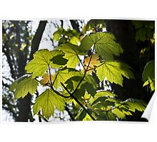 Young Sycamore Leaves Poster