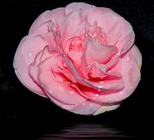 Camellia Japonica by Luca Renoldi