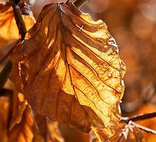 Aged Beech Leaves by Susie Peek