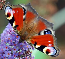 Peacock Butterfly by Nigel Bangert