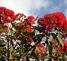 Red Flowering Gum by Gregory John O'Flaherty