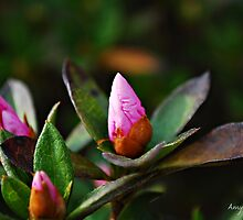 Azalea Bud by Amy Goode