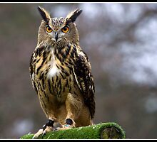 European Eagle Owl (Checker) by Shaun Whiteman