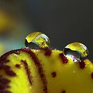 Raindrops on orchid by zolim