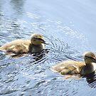 Little ducks by Freek Monteban