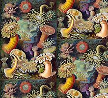 Actiniae by Ernst Haeckel (Public Domain) by Rob Price