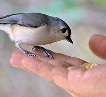 Tufted Titmouse by Chris Rada