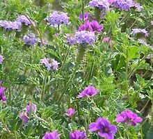 Texas Storksbill and Wild Prairie Verbena by Navigator