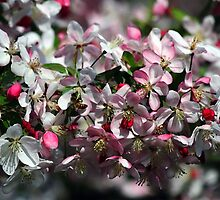 Honeybee Visits Crabapple Blossoms by Catherine Sherman