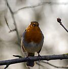 Robin Singing by Nigel Bangert