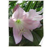 Pale Pink Amaryllis Close Up Poster