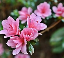 The First of the Spring Azaleas by Scott Mitchell