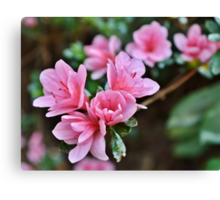 The First of the Spring Azaleas Canvas Print