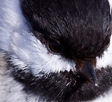 Chickadee: Up close and Personal by lloydsjourney