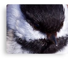 Chickadee: Up close and Personal Canvas Print
