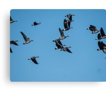 Greater White-Fronted Geese In Flight Canvas Print