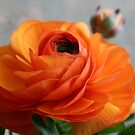 Bright Orange Ranunculis by SKNickel