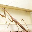 """BreakFast the Praying Mantis by Phineous """"Flash""""   Cassidy"""