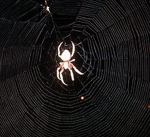 Garden Orb Weaving Spider in Web - 2 by gen1977