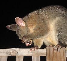 Shy Brush-tailed Possum by gen1977