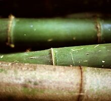 Green bambu in forest Belize by ElisaAnedda