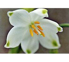 Galanthus nivalis 'Viridapice' Photographic Print