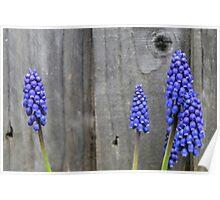 Grape Hyacinths........ Poster
