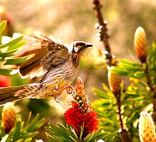 Bottlebrush collecting by wpmorro