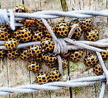 Barbed Wire Wrap by Graeme-Mellor