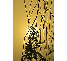 Willow Tree Branches Photographic Print