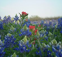 Indian Paintbrush with Bluebonnets at Sam Houston Homestead Independence, Texas by Tom Sieger