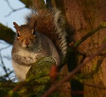 Grey Squirrel by trish725