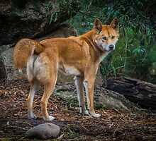 Dingo. by Bette Devine