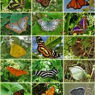 Butterflies Of The DR 2 by Robert Abraham