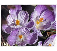 First Crocuses on the Sunny Side of the Building Poster