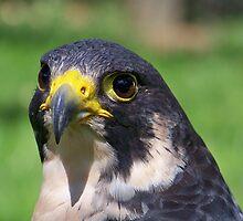 Peregrine Falcon by Dandelion Dilluvio