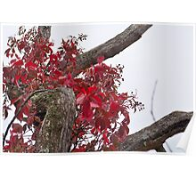 Virginia Creeper  Creeping Poster