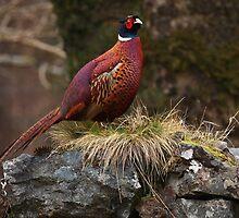 Pheasant. by John Cameron