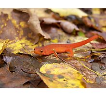 Red Eft Photographic Print