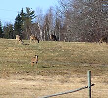 A Herd Of Deer by HALIFAXPHOTO